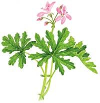 Cooking with scented geranium with recipe for scented geranium lemonade. Health benefits of scented geranium. Origins, varieties and cultivation. Rose Geranium Oil, Scented Geranium, Geranium Essential Oil, Essential Oils, Diy Mosquito Repellent, Insect Repellent Spray, Homemade Mosquito Spray, Weed Killer Homemade, Edible Flowers