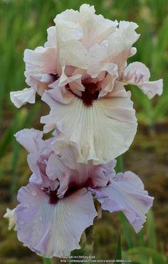Iris 'Dragon Kiss'