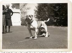 Vintage olde English bulldogge