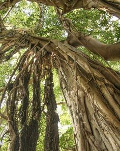 The most incredible trees... #Maui #BanyanTree #UnrealHawaii #ScenicDrive