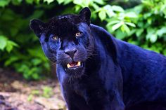 yawning panther - Google Search