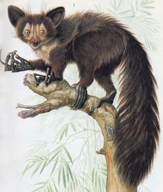 Daubentonia robusta (ksukol velký †, Daubentoniidae)
