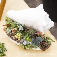Succulents in a seashell by Laura Eubanks of Serenity Gardens - www.succulentsandsunshine.com
