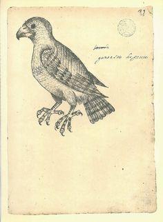 Hawk Vintage Bird Sketch Drawing Maranhao  Brazil Frei by carambas