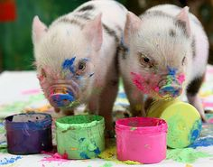 Careful Contemplation by These Painting Miniature Pigs (photography,animals,miniature pigs,cute,art,painting,pigs)