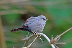 8599. Black-tailed Waxbill (Estrilda perreini)   southern Africa