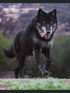 You Must, Love You, Wild Wolf, Copyright Infringement, Wolves, Wolfdog, Wildlife, Bakery Logo Design, Drawings