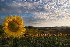 Tuscany sunflower field