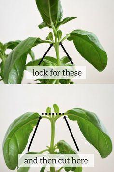 pruning basil …