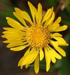 Coastal Gumweed. Wildflower. California . Yellow Flowers, Wild Flowers, California Wildflowers, Native Plants, Conservatory, Flora, Coastal, Herbs, Nature