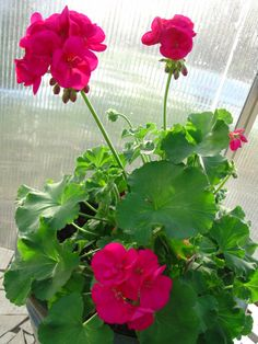 Geraniums-I may have to look for this colour next spring! Lovely!