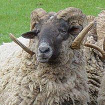 Hog Island Sheep For Sale