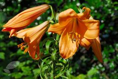 Buy lily African Queen bulb Lilium '(African Queen Group) African Queen': Delivery by Crocus