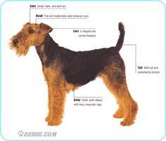 Welsh Terrier | 22DOG.com