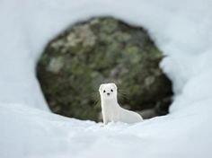 cool Picture of a white-coated ermine in the snow in Gran Paradiso National Park, Ita...