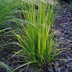 Alopecurus pratensis 'Aureovariegatus' - Vulpin des prés panaché September, Herbs, Plants, Herb