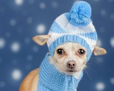 Puppy - hat, white, blue, caine, scarf, animal, winter, puppy, funny, cute, dog