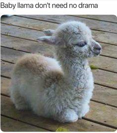 Cutest little baby llama.