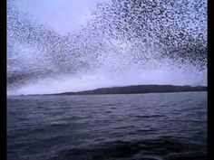 Amazing!! Murmuration of starlings. I truly have an amazing God!