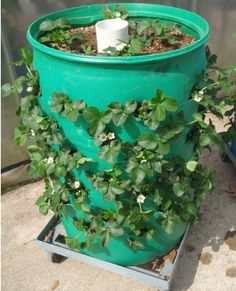 """Strawberry barrels can grow the equivalent of 25 ft of planted rows! Use a hole saw to cut 3""""-dia planting holes 10"""" apart, rows staggered diagonally, with 12"""" above the top row. Add 1/2""""-dia drainage holes on bottom, remove the top. Add a 4"""" PVC pipe tube (barrel height) and drill 3/4"""" holes every 4-6"""". Put screen or hardware cloth across the bottom and insert the tube, then fill the tube with gravel and the barrel with soil, adding a plant per spot and add plants in the top."""