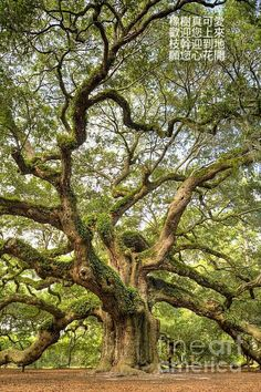 1500 years old Angel Oak tree on Johns Island, S. Carolina, USA What stories thi… 1500 years old Angel Oak tree on Johns Island, S. Carolina, USA What stories this tree could tell…. Old Oak Tree, Old Trees, White Oak Tree, Johns Island Sc, Angel Oak Trees, Weird Trees, Twisted Tree, Plant Painting, Painting Trees