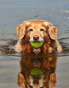 Nova Scotia Duck Tolling Retriever - water dog and retrieve dog