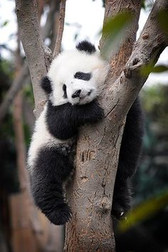 Pandas at play in China - in pictures - - Photographer Clare Kendall captures some of the 70 bears who live in Chengdu Research Base of Giant Panda Breeding in western China. Cute Baby Animals, Animals And Pets, Wild Animals, Photo Panda, Fat Panda, Baby Panda Bears, Baby Pandas, Giant Pandas, Panda Bebe
