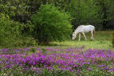 Spring flowers by the river with the wild horses