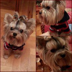 ☆Richie☆ Yorkshire terrier