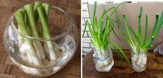 ¡Fácil! Cómo crecer cebollines en la cocina de tu casa indefinidamente - Vida Lúcida