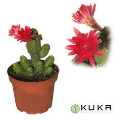 Mirad que floración más bonita hace el Cactus Chamacereus Silvestrii.  Clic: http://jardineriakuka.com/cactaceas/7931-cactus-chamaecereus-silvestrii.html#/colores_flores-rojo/arom%C3%A1ticas_horticolas_cactaceas_vivaces-cont_%C3%B8_13_cm_  #cactus #chamaecereus #cactáceas #cactusconflor