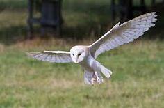 Bildergebnis für Falkenartige