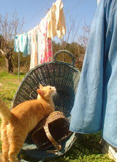 """Cat: """"Now that you've finished hanging out the washing; please may I use the basket for my afternoon nap?"""""""