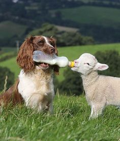 Caring springer spaniel And Bottle-Feed Baby Lamb Cute Baby Animals, Farm Animals, Animals And Pets, Funny Animals, Animals Photos, Dog Photos, Funny Dogs, Cute Puppies, Dogs And Puppies