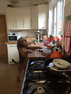 Airedale counter surfing (pic from NW Airedale rescue site)
