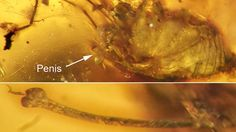 Ancient arachnid erection enshrined in amber  Penis helps place it in harvestman family tree