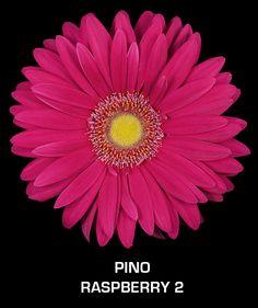 Fuchsia gerber daisy Ever-Bloom gerbera