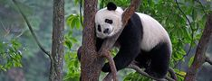 Giant panda at Bifengxia Panda Base in Ya'an, China  The giant panda, also known as panda bear or simply panda, is a bear native to south central China. It is easily recognized by the large, distinctive black patches around its eyes, over the ears, and across its round body.