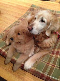 Golden Retrievers... need I say more?