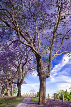 Jacaranda Trees in full Spring-time bloom, Brisbane, Queensland, Australia