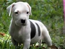 pitbull puppies - Yahoo Search Results Yahoo Image Search Results