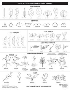 Worksheet to hand out to students showing different parts and types of leaves. Have students examine leaves and compare to this handout in small groups. Basic tree identification sheet, if ID b. Teaching Science, Life Science, Tree Identification, Plant Science, Forest School, Leaf Shapes, Tree Shapes, Nature Journal, Nature Study