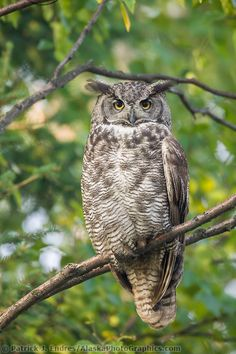 Great Horned Owl perched on the branch of birch tree in the boreal forest of Fairbanks, Alaska-