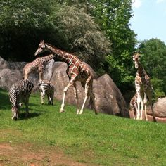 Giraffes and Zebras at NC Zoo at Asheboro.  Went here a few times when we lived in NC.  Miss it :(
