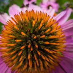 Echinacea Purpurea - wenn schon keine Sonne da ist... dann setz ich mir einfach einen Sonnenhut auf ;-)