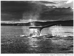 Sebastiao Salgado - Special Report - Genesis.  'Another beautiful spectacle: the sight of the tails of the whales standing up above the water all over the place.'