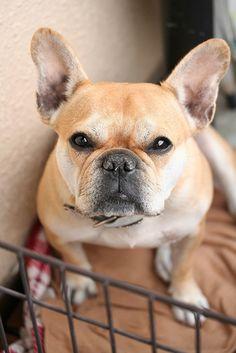 Love French Bulldogs!