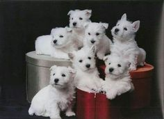 The Westie Wednesday.... from a FB account (Please don't change this)