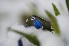 #scilla #spring #snow #southfinland