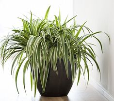 chorophytum comocum - ideal low maintenance plant for bathroom - we have a winner